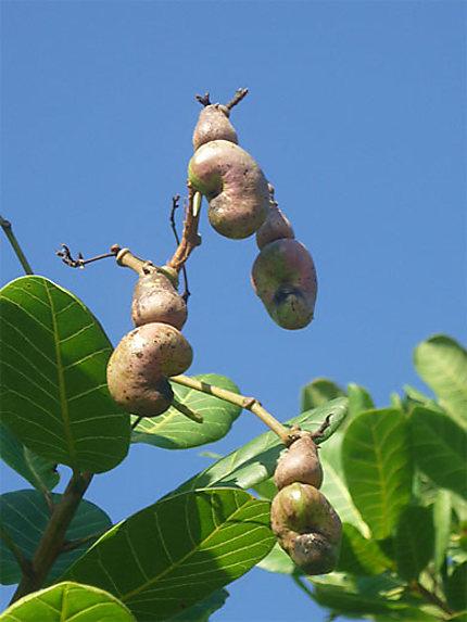 Noix De Cajou Arbre : cajou, arbre, Cajou, Arbres, Manakara, Fianarantsoa, Région, Madagascar, Routard.com