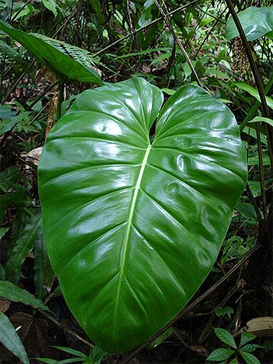 Plante tropicale  Plantes  Chutes de Moreau  BasseTerre  Guadeloupe  Routardcom