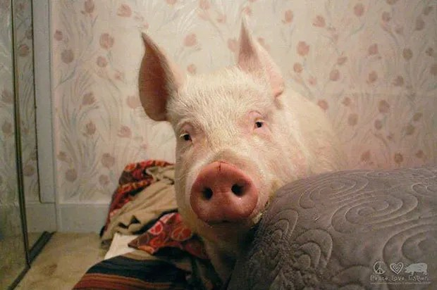 Esther The Wonder Pig Is Wondrous Indeed But So Are All