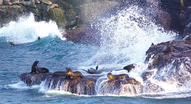 La Jolla Cove is becoming a sea lion cesspool  San Diego Reader
