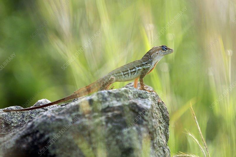lizard standing on a