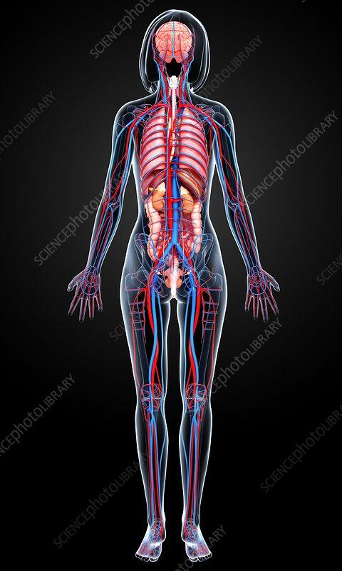 Female anatomy, artwork - Stock Image - F006/1511 ...