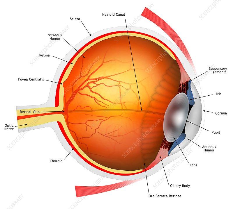 human eye illustration stock