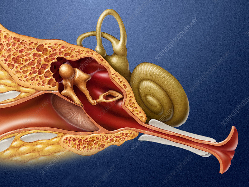 Ear Anatomy - Stock Image - P430/0130 - Science Photo Library