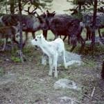 En vit liten kalv. Foto: L Mikaelsson