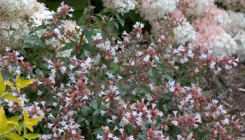 Abelia Pinky Bells Smart Garden Plans
