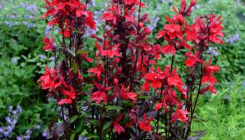 Lobelia Speciosa Starship Deep Rose Smart Garden Plans