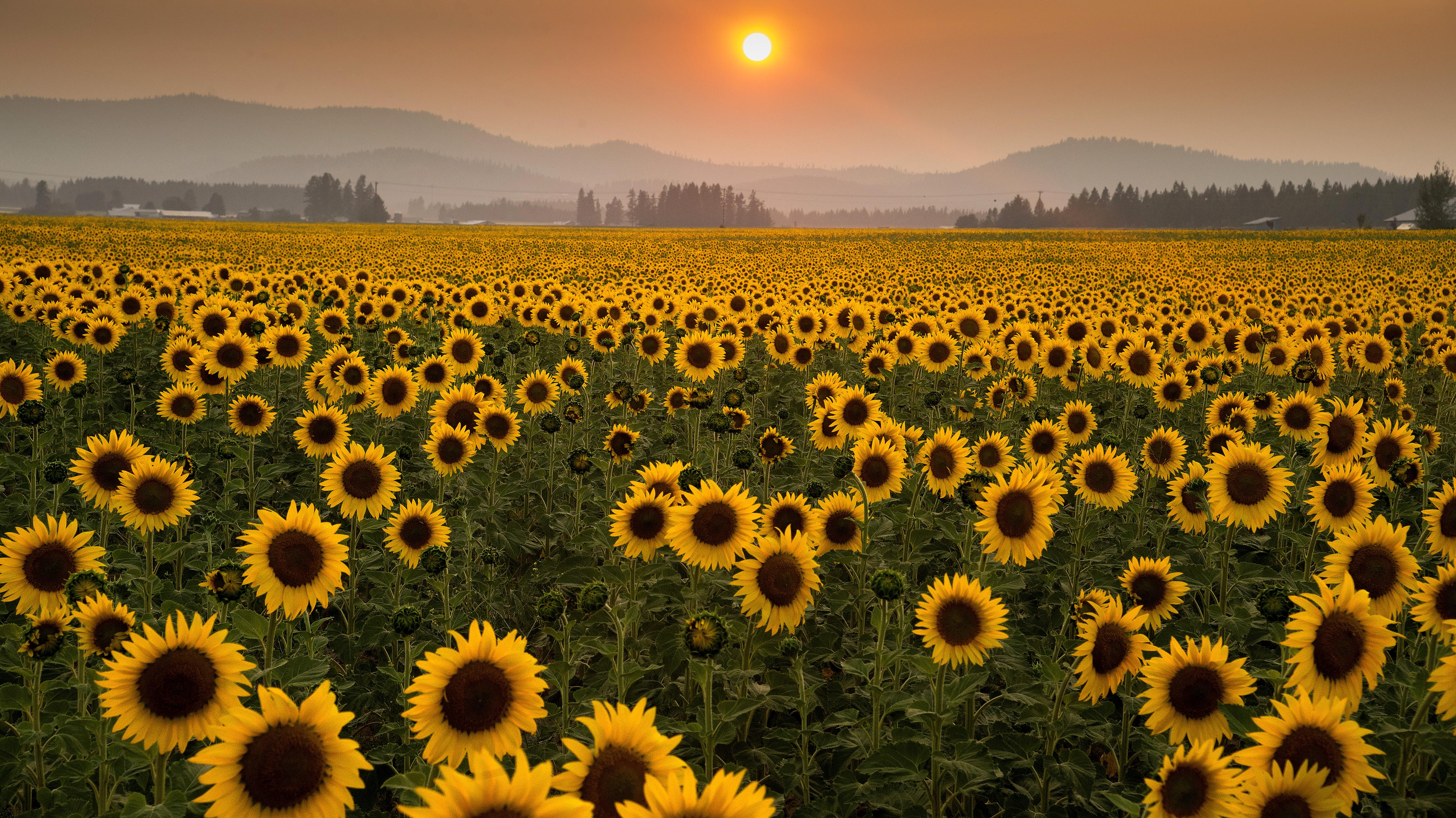 Fall Wallpapers For Desktop Idaho Sunflowers The Spokesman Review