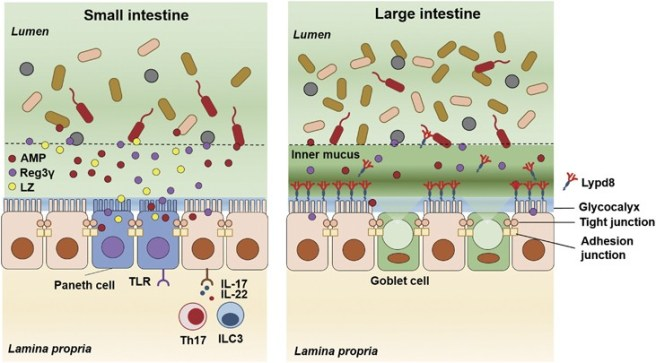 Intestine. Roles of intestinal epithelial cells in the maintenance of gut homeostasis    Experimental & Molecular Medicine