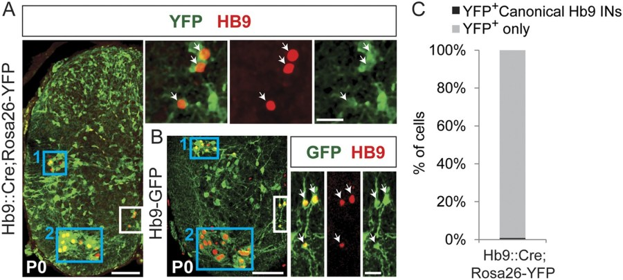 Spinal Hb9cre Derived Excitatory Interneurons Contribute