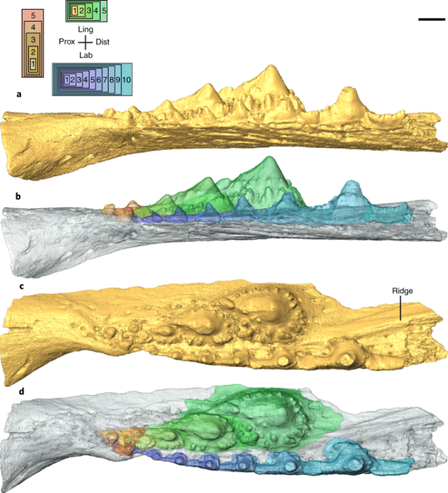 Acanthodian dental development and the origin of gnathostome dentitions | Nature Ecology & Evolution