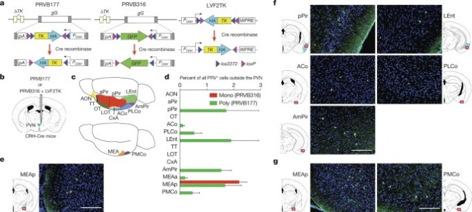 A Specific Area Of Olfactory Cortex Involved In Stress Hormone Responses To Predator Odours Nature