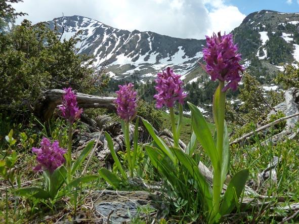 Orkidéer. Sorteny