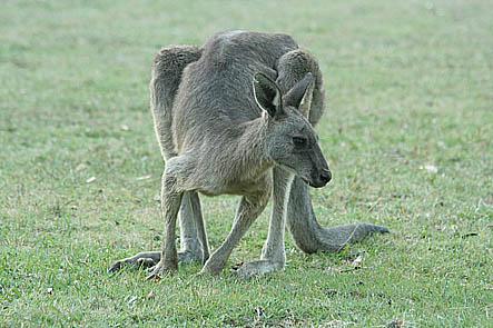 Känguru. Grampians National Park