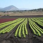 Grönsaksodling. Ross. Tasmanien
