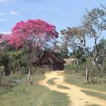 Blommande träd. Amazonas