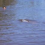 Simma med delfiner. Amazonas