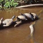 Sköldpaddor. Amazonas