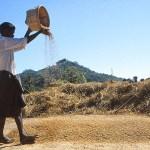 Rensning av ris. Mrak-U