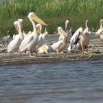 Pelikaner. Lake Chamo