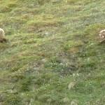 Grizzlyhona med ungar. Denali National Park