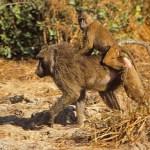 Babianhona. Mole National Park
