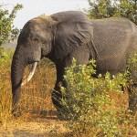 Elefanthanne. Mole National Park