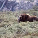 Myskoxe. Kangerlussuaq