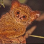 Tarsier. Tangkoko National Park