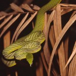 Bambuorm? Tangkoko National Park