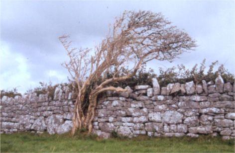 Vindpinat träd. Kilfenora