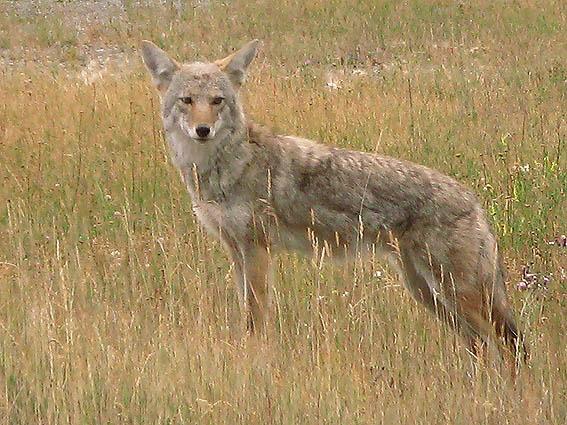 Coyote. Banff National Park (U)