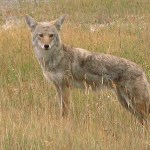 Coyote. Banff National Park (U)