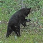 Svartbjörn. Icefield Parkway
