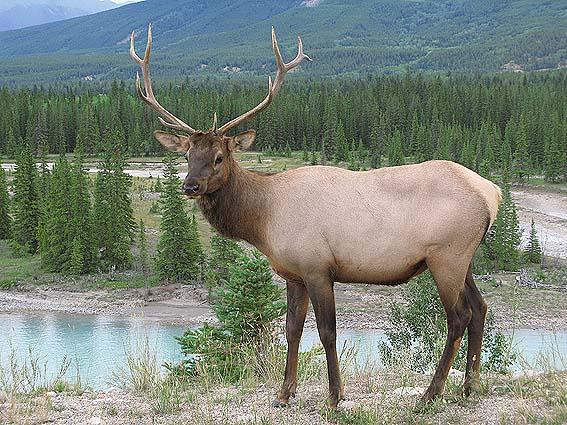 Vitsvanshjort. Jasper National Park. Kanada (U)