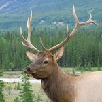 Vitsvanshjort. Jasper National Park (U)