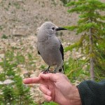 Clark´s Nutcracker. Jasper National Park