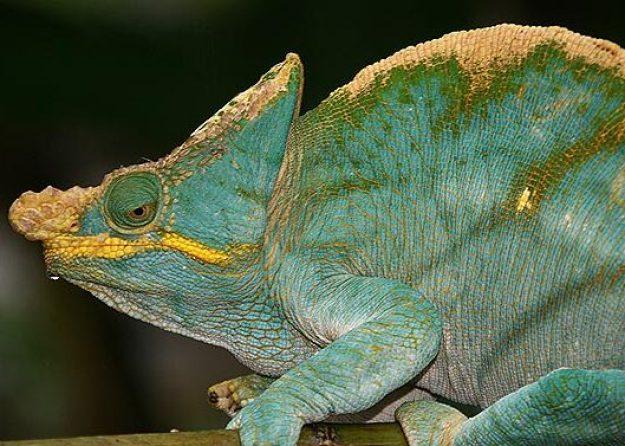 Kameleont. Ranomafama (U)