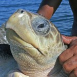 Havssköldpadda. Puerto Escondido