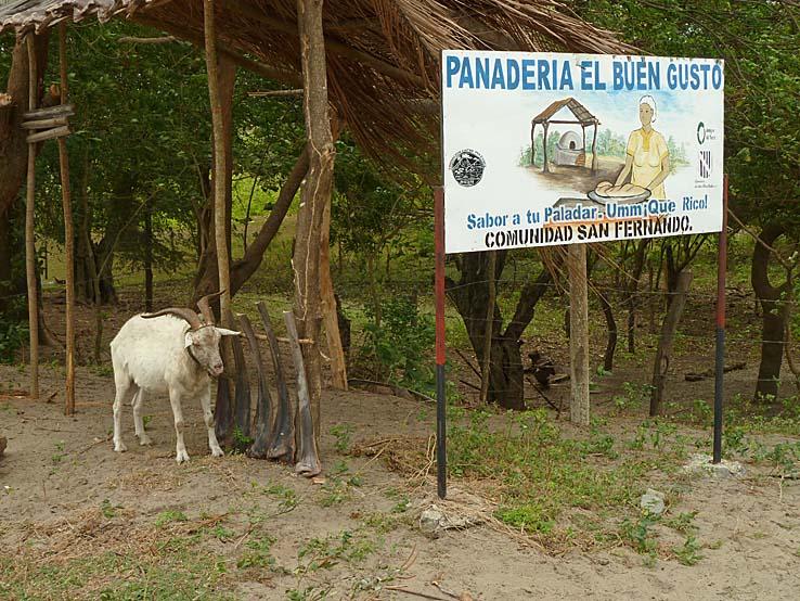 Parkerad get. Isla de Ometepe