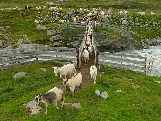 Getter på bro. Leirvasshytta