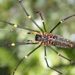 Spindel. Manokwari