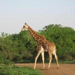 Giraff. Imfolozi National Park