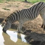 Burchells zebra. Imfolozi National Park