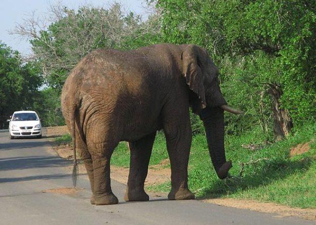 Afrikansk elefant. Imfolozi N P
