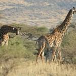 Giraffer. Lake Natron
