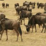 Gnuer. Ngorongoro National Park (U)
