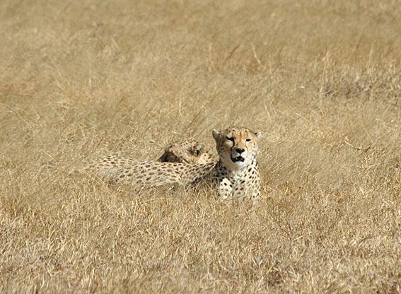 Gepard. Ngorongoro National Park