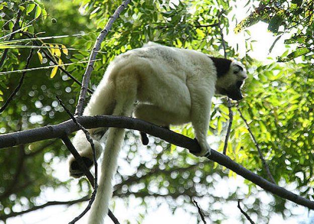 Verreauxs sifaka. Isalo National Park