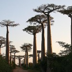Baobabträd. Avenue of Baobabs